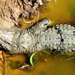 Крокодил отдыхает