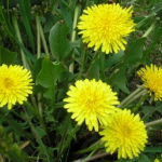 растение одуванчик