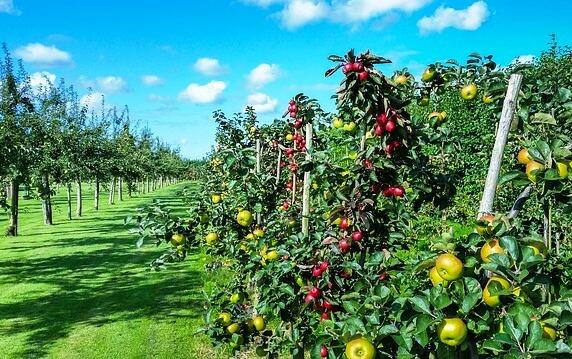 фото яблоня дерево