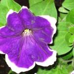 Дача-цветы