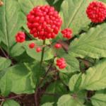 Листья, стебель, цветы, семена ЖЕНЬШЕНЯ – тоже лекарство?!